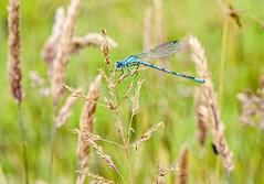 Common Damsel Fly
