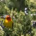 Western Tanager in my back yard - Arvada, Colorado