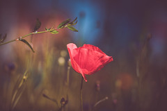 wildflower (Dhina A) Tags: sony a7rii ilce7rm2 a7r2 a7r jupiter 135mm f35 jupiter37a135mmf35 12blades 37a prime m42 jupiter37a