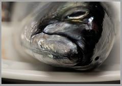 Holy Mackerel! (czav gva) Tags: gonefishing macromondays