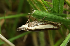 Grass moth (Lord V) Tags: macro bug insect moth