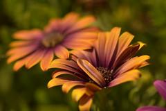Un verdadero espíritu de rebeldía es el que busca la felicidad en esta vida. (Elena m.d.) Tags: sigma macromondays sigma105 nikon d5600 flower