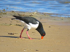 Haematopus longirostris 18 (Barry M Ralley) Tags: saltwater national park birds australiabirds aves new south wales australia pied oystercatcher haematopus longirostris