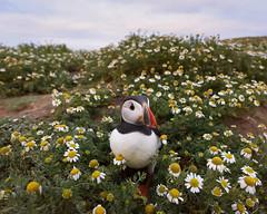Puffin in mayweed (DrAnthony88) Tags: atlanticpuffin fraterculaarctica skomerisland evening mayweed nikond810 nikonnikkor20mmf18gedafs