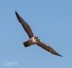 Falco biarmicus / Lanner Falcon (Jambo53 ()) Tags: lannerfalcon falcobiarmicus crobertkok nikond800 nikon500f4