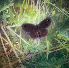 Brown butterfly (judy dean) Tags: judydean 2019 france savoie butterfly brown spots wild flowers