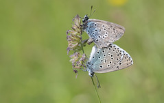 Large Blue (Maculinea arion). (Bob Eade) Tags: largeblue maculineaarion butterfly pair somerset blue summer