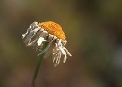 Flower dof (Håkan Jylhä (Thanks for +1000000 views)) Tags: håkan jylhä sweden sverige sony rx10iv flower blomma närbild close closeup old white vit prästkrage