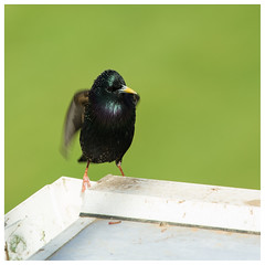 Starling, Scone (wwshack) Tags: egpt psl perth perthkinross perthairport perthshire scone sconeairport scotland starling