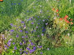 """Kornblumen + Mohn  in der Morgensonne (warata) Tags: 2019 deutschland germany süddeutschland southerngermany schwaben swabia oberschwaben upperswabia schwäbischesoberland """"badenwürttemberg"""" badenwuerttemberg pflanze blume blüte flower fleur hausgarten """"samsung galaxy note 8"""" nature outside landscape garden eiche – kornblumen mohn hainbuche"""