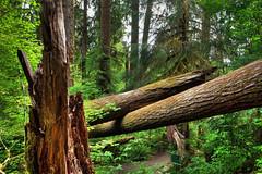 Redwood National Park, California (klauslang99) Tags: redwood national park california klauslang nature naturalworld northamerica trees vegetation forest woods landscape