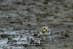 DSC06375 - Juvenile Little Ringed Plover (steve R J) Tags: juvenile little ringed plover blue house farm ewt reserve north fambridge essex birds british