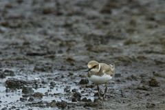 DSC06372 - Juvenile Little Ringed Plover (steve R J) Tags: juvenile little ringed plover blue house farm ewt reserve north fambridge essex birds british