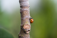 happy friday (Frau Koriander) Tags: marienkäfer ladybug ladybird beetle käfer bug europäischermarienkäfer dot gepunktet coccinellidae insekt animal tier insect nikond750 nikkoraf60mmƒ28 60mm makro makroaufnahme macro closeup figtree feigenbaum feige