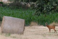 Chevreuil.jpg (MELEARD David) Tags: cervidés chevreuil mammifères artiodactyles artiodactyla capreoluscapreolus cervidae mammalia mammals roedeer