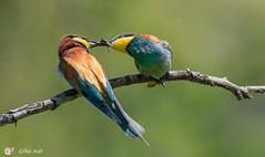 le Guêpier d'Europe - European Bee-eater (Gilles Adt Photographer) Tags: oiseau france meropsapiastereuropeanbeeeater ornithologie guêpierdeurope