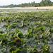 Spoon seagrass (Halophila ovalis)