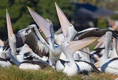 Australian Pelicans (christinaport) Tags: australianpelican pelican nsw australia bird birds wild free