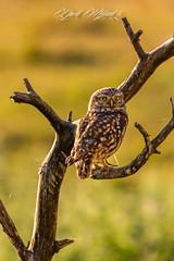 Chevêche d'Athéna.jpg (MELEARD David) Tags: oiseaux strigiformes chevêchedathéna strigidés athenenoctua aves birds littleowl strigidae