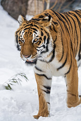 Noah walking in the snow (Tambako the Jaguar) Tags: tiger big wild cat bengal male walking portrait face snow winter cold siky park zoo crémines switzerland nikon d5 explore