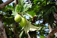 Orinoco (Fernweh Reisefotos) Tags: nicaragua garifuna centralamerica orinoco américalatina américacentral lateinamerika zentralamerika mittelamerika fz1000 caribbean laguna caribe perlas karibik lagune lagoon breadfruit artocarpus brotfruchtbaum brotfrucht altilis