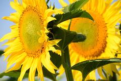 Tournesol (Croc'odile67) Tags: nikon d3300 sigma contemporary 18200dcoshsmc fleurs flowers tournesol sunflower girasole nature