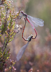 Large red damselflies (andywilson1963) Tags: largereddamselfly insect dragonfly nature wildlife scotland british macro mating