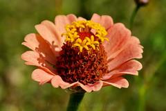 Zinnia (DirkVandeVelde ( very busy)) Tags: europa europ europe belgie belgium belgica belgique buiten flora flower fly antwerpen antwerp anvers mechelen malines malinas macro