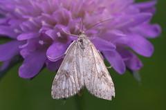 Udea decrepitalis (urmas ojango) Tags: lepidoptera liblikalised insecta putukad insects moth rohuleediklased crambidae nationalmothweek udeadecrepitalis