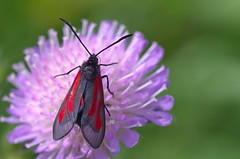 Hiireherne-verikireslane; Zygaena (Zygaena) osterodensis (urmas ojango) Tags: lepidoptera liblikalised insecta insects putukad moth kireslased zygaenidae nationalmothweek hiireherneverikireslane zygaenazygaenaosterodensis