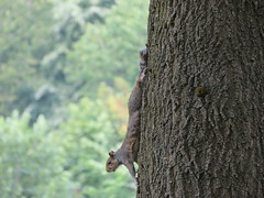 Agecroft Cemetery Squirrel (deltrems) Tags: animal squirrel tree agecroft cemetrey salford greater manchester trunk