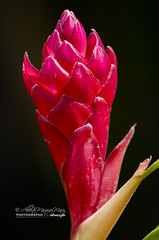 Alpinia Purpurata (Red ginger) (Alberto Márquez Marín) Tags: 2019 copyrighted nature naturephotography venezuela