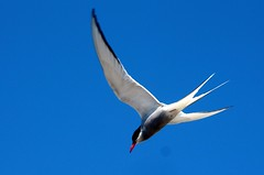 The diving artic tern. (irio.jyske) Tags: birdphotographer bird birdphoto birdphotograph birdpics birds birdpic animalphotographer animal animalphotograph animals sky colors summer diving food fish beauty beautiful nature naturephoto naturepictures naturephotograph naturepic naturescape naturephotos naturephotographer naturepics natural
