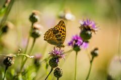Sommerwiese (UpuautX) Tags: sony a7iii 90mm macro marko bokeh summer sommer wiese schmetterling butterfly switzerland schweiz mettauertal