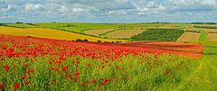 Overlooking the gallops, East Garston, Berkshire, England (Oswald Bertram) Tags: berkshiredowns lambourndowns northwessexdowns northwessexdownsaonb westberkshire countryside angleterre inglaterra inghilterra greatbritain granbretaña grandebretagne grosbritannien granbretagna uk summer sommer estate été verano poppies amapolas coquelicots mohnblumen mohn papaveri country landschaft landscape paisaje paysage paesaggio flowers fiori flores fleurs blumen walking hiking footpath randonnée wanderweg fields campos campi felder champs agriculture colourful colorful holidays vacation vacaciones ferien vacances