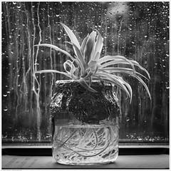 _DSC1788 (alexcarnes) Tags: spider plant jar roots window rain square format alex carnes alexcarnes nikon d850 tamron 90mm f28 macro