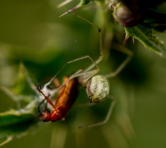 White Crab Spider and Cardinal Beetle (PDKImages) Tags: macro macrophotography macrowildlife insects spider hunting feeding prey arachnid nature wildlife outdoors ukwildlife