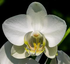 6M7A6836 (hallbæck) Tags: orchidé orchid orchidaceaefamily blomst flower blume fleur fiore flor blomma plante plant macro mh hørsholm denmark canoneos5dmarkiii ef100mmf28lmacroisusm flowerssouls floweria