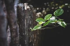 Reach out ... (vanessa violet) Tags: fence fencefriday friday hff tree georgeherbert reachout goodwordsareworthmuchandcostlittle