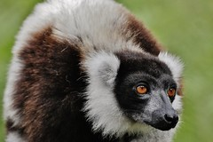 Black and White Ruffed Lemur (Varecia variegata) (Susan Roehl) Tags: madagascar2017 islandofmadagascar offtheeastcoastofafrica akaninnynofy palmariumreserve blackandwhiteruffedlemurs vareciavariegata criticallyendangered animal mammal herbivore mainlyfruit endemic largestextantmembers lemuridaefamily uptoninepounds upto39feetinlength arboreal highcanopy seasonalrainforests diurnal quadrupedalmotion frugivorous eatnectar flowers seeds leaves complexsocialstructure loudraucouscalls shortgestationperiod largelitters rapidmaturation sueroehl photographictours naturalexposures panasonic 100400mmlens handheld cropped coth5 ngc npc