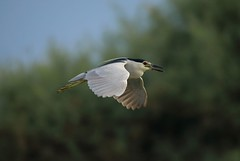 Night Heron_Maritinete_Bakcsó (Nora077) Tags: birds aves madarak spain aguamolls noratoth nature naturalesa