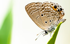 On a perch (Macromanic) Tags: butterfly bug macro insect