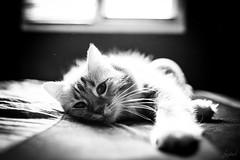 Merlin, la douceur de vivre. (LACPIXEL) Tags: merlin chat cat gato douceur vivre vie vida life portrait retrato contrejour contraluz backlight fenêtre ventana window noiretblanc nikon nikonfrance nikonfr flickr lacpixel 35mm