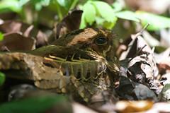 Common Pauraque (Byron Taylor) Tags: costarica commonpauraque wildlife birds nature manuelantonio nationalpark canon canon7d