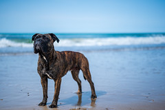 The Dog Days aren't over (MM Forster) Tags: dog beach blue 50mm animalportrait denmark