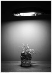 _DSC1793 (alexcarnes) Tags: spider plant lamp alex carnes alexcarnes nikon d850 sigma 50mm f14 art
