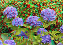 Flower in anaglyph stereo (wim hoppenbrouwers) Tags: flower anaglyph stereo redcyan bloem bloemen 3d apeldoorn