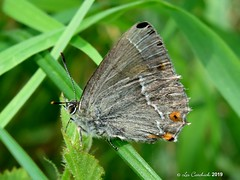 Purple hairstreak (LPJC (away for August)) Tags: cotgraveforest nottinghamshire uk 2019 lpjc butterfly purplehairstreak hairstreak