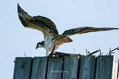 Learning to Fly (psdenbow) Tags: osprey maryland canon tamron tamron150600