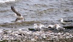Take off (Gill Stafford) Tags: gillstafford gillys image photograph wales northwales conwy bird gull flight f ying takeoff beach sea llanddulas welsh coastalpath cyclepath young juvenile herring